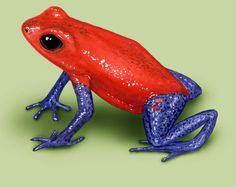 Dendrobates Pumilio (Strawberry Poison Dart Frog) is native to Central America and Puerto Rico.  The Blue Jeans Morph is the most popular with pet owners.