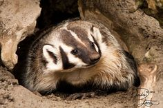 Digger Weasel by *DeeOtter on deviantART (American Badger)