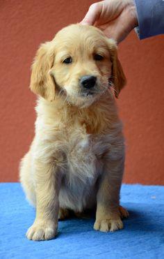 Absolutely adorable golden retriever