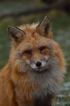 Snowflakes   Fox