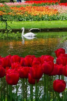 Keukenhof, the world's largest flower garden. Most Beautiful Gardens, Beautiful Flowers Garden, Amazing Flowers, Beautiful Birds, Beautiful World, Beautiful Places, Beautiful Paintings, Beautiful Landscapes, Parcs