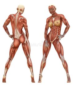 Female Muscular System Anatomy. Photo about health, biceps, exercise, forearms, anatomic, anatomical, anatomy, chest, hamstrings, bodybuilding, back, fitness, athletic - 51405110
