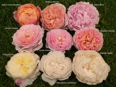 Image result for abraham darby rose