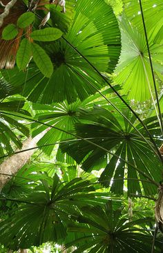 Umbrella ferns.
