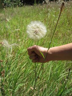 Defender of dandelions...how many times have we done this !  Plucked one to blow away the seeds !