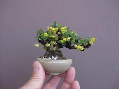 Bonsai - Miniature Fruit