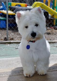 puppies Then and now photos - Diane's Westies