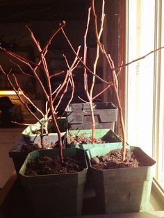 when and how to propagate blueberries
