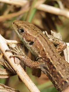 In Tunstall woods Suffolk British Wildlife, Reptiles And Amphibians, Beautiful Images, Terrarium, Animals, Terrariums, Animales, Animaux, Animais