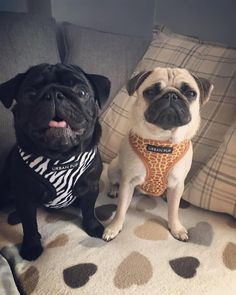 Obtain wonderful recommendations on Pugs. They are available for you on our web site. Black Pug Puppies, Cute Dogs And Puppies, Grumble Of Pugs, Funny Animals, Cute Animals, Mickey Mouse, Baby Pugs, Cute Pugs, Pug Love