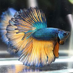 Betta fish are often considered to be among the heartiest sort of fish one can purchase, but great betta fish care is essential to a long and happy life. Betta Fish Tank, Beta Fish, Pretty Fish, Beautiful Fish, Colorful Fish, Tropical Fish, Aquariums, Beautiful Creatures, Animals Beautiful