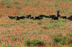 THE GOATS RESPECT THE POPPIES