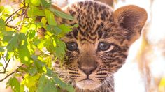 #Leopard cub. Can't quite see the sides of eyes, but pretty sure this is not a #Cheetah with black stripe near the eyelid. BIG CATS LITTLE CATS. Motion Image Photography: Pulling Stills from Super-High-Res Video