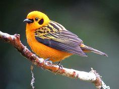 pas-thra-golden-tanager-tangara-arthus-c2a9wikic.jpg (639×480)