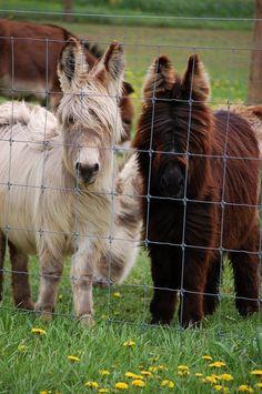 Woolies Alice and Lu-Lu -- Donkeys