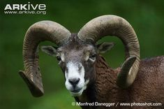 Argali videos, photos and facts - Ovis ammon | ARKive