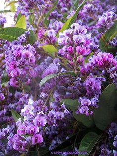 Australian Sarsparilla, False Sarsaparilla, Happy Wanderer, Coral Pea, Lilac Vine ~ Hardenbergia violacea