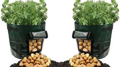 Believe It Or Not, This Can Grow Tons Of Potatoes in a Trash Bag - YouTube