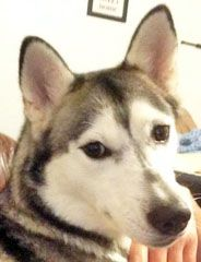 LOST or STOLEN this brown-eyed, female Siberian Husky named Minda. Minda was seen in St. Augustine, FL.  Call:  904-540-1973