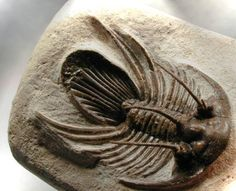 Trilobite | Dramatic Moroccan Devonian Trilobite Kolihapeltis rabatensis