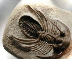 Kolihapeltis Fossil Trilobite