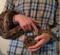 To make handling a positive experience for both you and your Dumeril's boa, be sure to support its body weight. (The Ultimate Guide to Dumeril's Boa Care) Exotic Animals, Exotic Pets, Snakes, Body Weight, Noodle, Reptiles, Scary, Babies, Boas