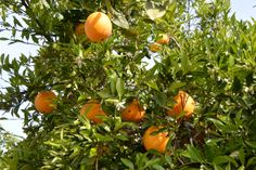 You haven't lived until you've partied in an orange grove in Exeter, CA! Orange Farm, Orange Grove, Spring Fruits, Fruits Photos, Exeter, Stuff To Do, Vegetables, Veggies, Vegetable Recipes