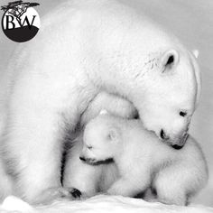 ⭕️VOLUNTEER OF THE DAY⭕️ Fredrik Granath @fredgranath Pregnant polar bears have to look for their maternity dens located on land where the bows accumulate. Moms give birth to 1 or 2 cubs.Cubs remain with their mothers for a little over 2 years to learn the survival skills. Female polar bears can produce five litters in their lifetime, this is one of the lowest reproductive rates of any mammal.Polar bears are currently listed as vulnerable by IUCN's Red List.