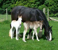 Twin silver dapple filly foalss