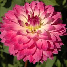 """MISS DELILAH (BFD) Introduced in 2002. Nice large cut flowers of 6"""" are a pink/lavender blending to white near the center of the blooms. Bus..."""