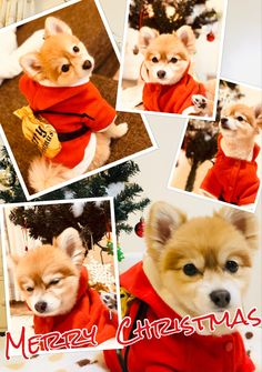 Corgi, Merry Christmas, Teddy Bear, Animals, Merry Little Christmas, Corgis, Animales, Animaux, Wish You Merry Christmas