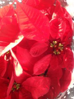 Il fiore che nasce dai resti: la stella di Natale. #ptitzelda2014 #ptitzelda2014day16