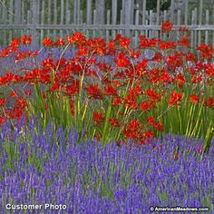 Image result for 'Lucifer' Crocosmia