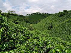 Coffee plantation - At the National Coffee Park - Quindio- Colombia. Permaculture, Colombian Coffee, Coffee Business, Colombia Travel, Coffee Photography, Plantation, Coffee Cafe, Coffee Travel, Oh The Places You'll Go