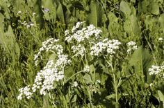 Using Wild Quinine The Garden: Tips For Growing Quinine Wildflowers - Growing quinine wildflowers is an easy undertaking and suitable for many situations. So what is wild quinine? Keep reading to learn more about this interesting plant and wild quinine care.