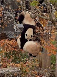 Hang in there, panda! Panda Kawaii, Niedlicher Panda, Panda Love, Cute Panda, Red Panda, Animals And Pets, Baby Animals, Funny Animals, Cute Animals