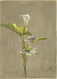 Fidelia Bridges - Calla Lilly