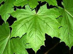 Javor mléč Acer platonoides Javorovité