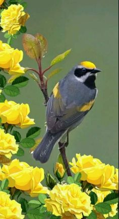 Can't give you the name of this bird, but the picture is beautiful. Such a vibrant yellow with the contrasting grey of the bird's body. Kinds Of Birds, All Birds, Little Birds, Love Birds, Pretty Birds, Beautiful Birds, Animals Beautiful, Cute Animals, Exotic Birds