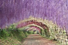 """Introduced as one of the """"10 beautiful places in the world that actually exist"""" on an overseas site. Boasting of a flower-covered tunnel of wisterias and wisteria trellis covering an area of 6105 square meters. You will be able to admire this sight from late April to mid May!"""