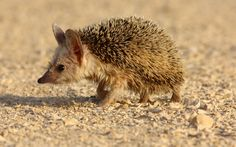 Desert Hedgehog by Kasia Mikus | Publish with Glogster!