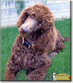 Standard Poodles Poodles And Bell Bottoms On Pinterest