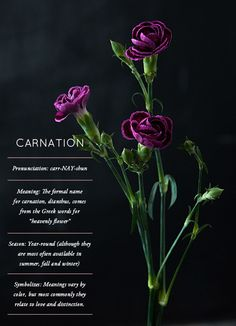 Glossary: Carnation Everything you've ever wanted to know about CARNATIONS. Often overlooked, but full of surprises.Everything you've ever wanted to know about CARNATIONS. Often overlooked, but full of surprises. Flower Names, My Flower, Birth Flower, Types Of Flowers, Beautiful Flowers, Flower Meanings, Language Of Flowers, Arte Floral, Carnations