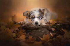 Autumn Puppy - Border Collie Puppy