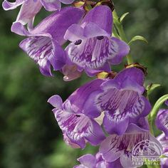 Penstemon 'Dorothy Wilson' for by the mailbox?
