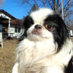 Adam - AVAILABLE! is an adoptable Japanese Chin Dog in Waterloo, IA. Hello ladies and gentlemen! My name is Adam and I am in need of your assistance. I was rescued from a bad situation and now I need ...