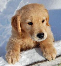 golden retriever puppy.