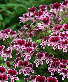 Geranium 'Mosquitaway Eva' | Planten | Bakker Hillegom