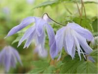 Clematis 'Wesselton'
