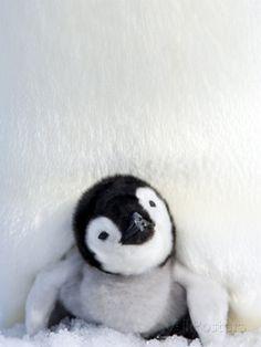 Emperor Penguin (Aptenodytes Forsteri), Chick, Snow Hill Island, Weddell Sea, Antarctica